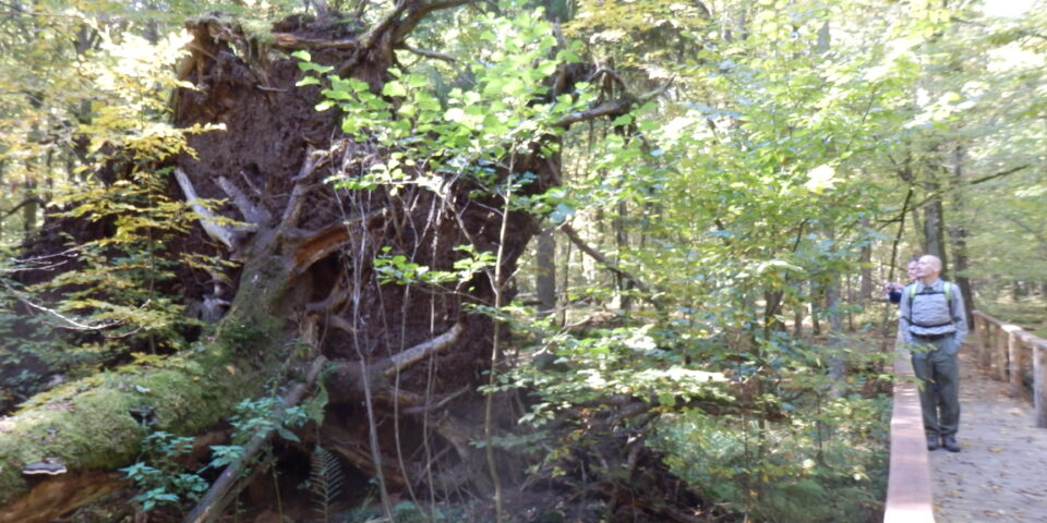 Werkbezoek oerbos Bialowieza (Polen)
